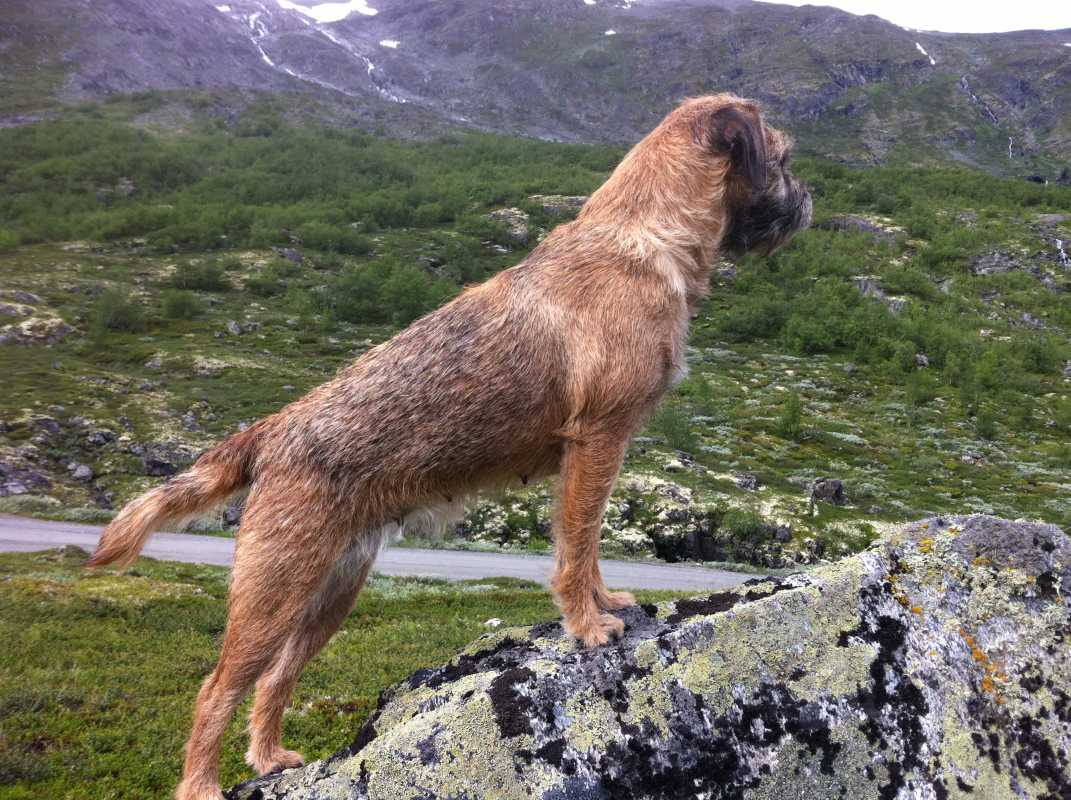 Border Terrier - perfekt turkamerat